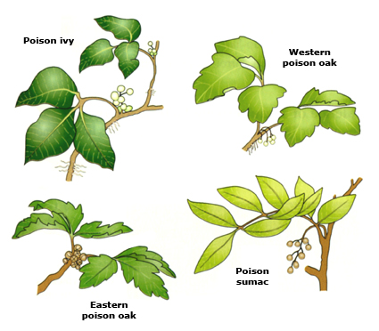 how to identify poison oak, poison ivy, poison sumac