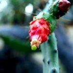 Balboa Park Trails, San Diego, Hiking, Cactus Flowers