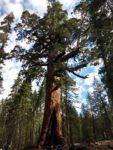Mariposa Grove Of Giant Sequoia, Hiking, Yosemite National Park, Sequoias, Trail Description