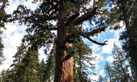 Mariposa Grove Of Giant Sequoia Trail Guide