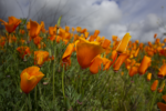 Walker Canyon, Hiking, California Poppy Fields