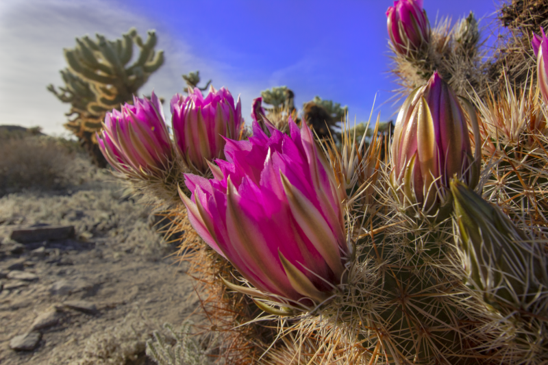 Joshua Tree National Park, Cholla Cactus garden, blooming cactus