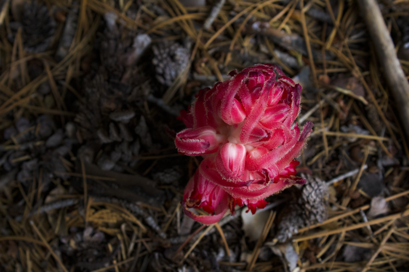 Snow Plant, Sarcodes, Yosemite National Park, The Mist Trail