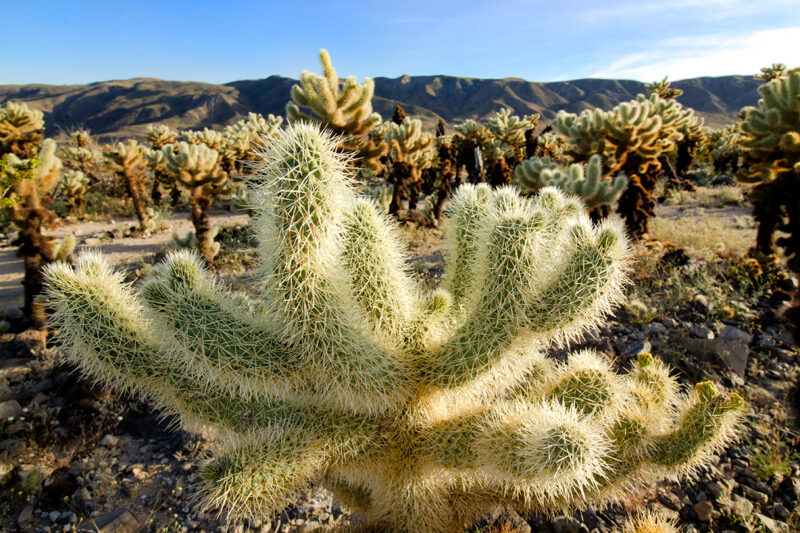 cholla cactus garden photography joshua tree national park