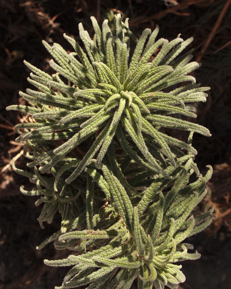 poodle-dog bush treatment